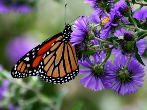 Monarch butterfly. Photo Credit: USFWS